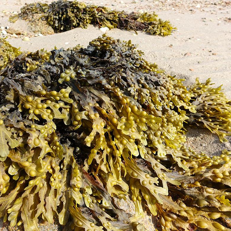 El alga fucus para adelgazar